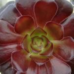 Aeonium arboreum 'Zwartkopf' - Black Rose, Black Beauty, Black Tree Aeonium
