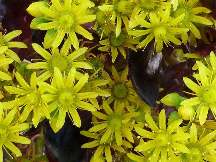 Aeonium arboreum 'Zwartkopf' - Flowers