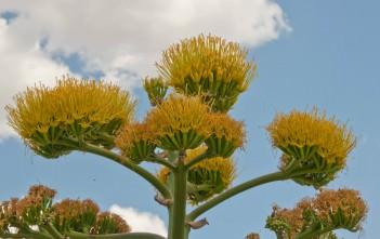 Agave americana - Century Plant, American Aloe