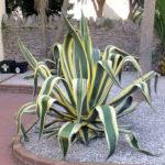 Agave americana 'Marginata' (Variegated Century Plant)
