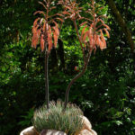 Aristaloe aristata (Lace Aloe)