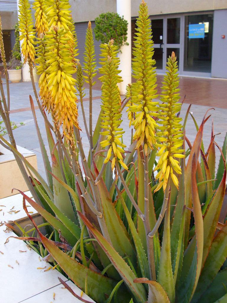Aloe Vera Medicinal Aloe World Of Succulents