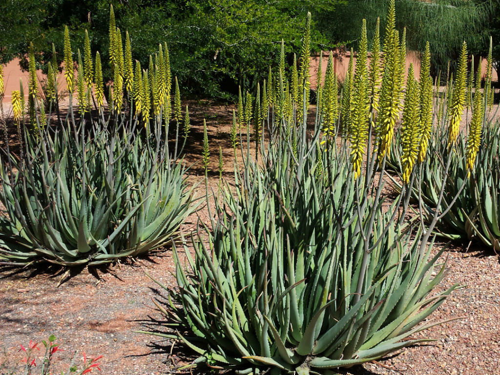 Aloe vera (Barbados Aloe)