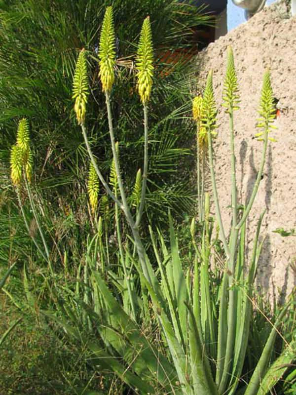 Aloe Vera Medicinal Aloe Barbados Aloe World Of