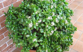 Crassula ovata – Jade Plant, Money Tree