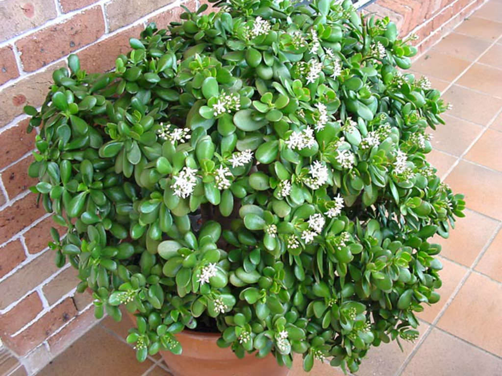 Crassula Ovata Jade Plant World Of Succulents