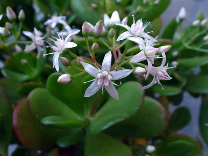 Crassula ovata - Flowers and buds