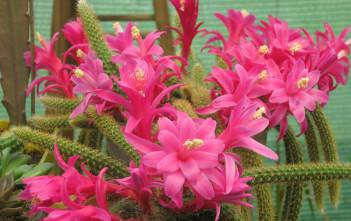 Disocactus flagelliformis - Rat Tail Cactus