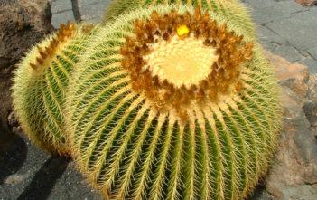 Echinocactus grusonii – Golden Barrel Cactus