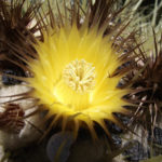 Echinocactus grusonii - Golden Barrel Cactus, Golden Ball
