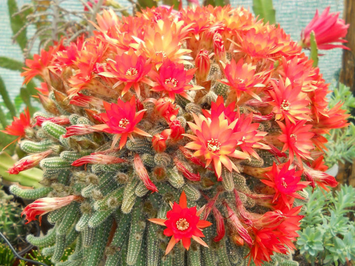 Echinopsis chamaecereus -Buds and Flowers