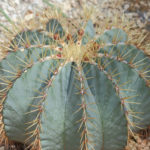 Ferocactus glaucescens – Blue Barrel Cactus