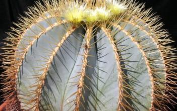 Ferocactus glaucescens - Blue Barrel Cactus, Glaucous Barrel Cactus