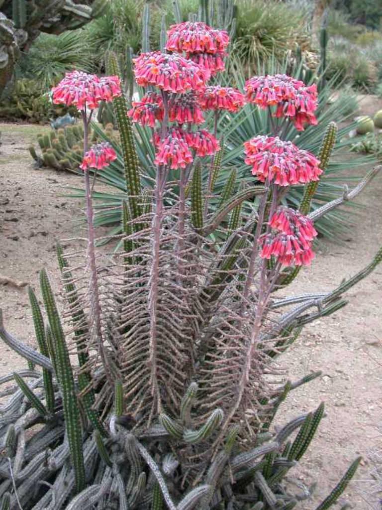 Kalanchoe delagoensis chandelier plant world of succulents kalanchoe delagoensis chandelier plant aloadofball Choice Image