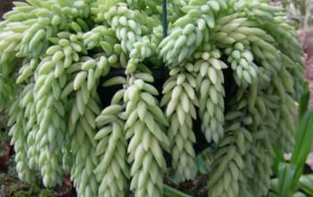 Sedum morganianum - Burro's Tail, Donkey's Tail, Lamb's Tail, Horse's Tail