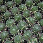 Sempervivum arachnoideum (Cobweb Houseleek)