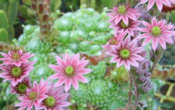 Sempervivum arachnoideum - Cobweb Houseleek, Spider Web Hens and Chicks