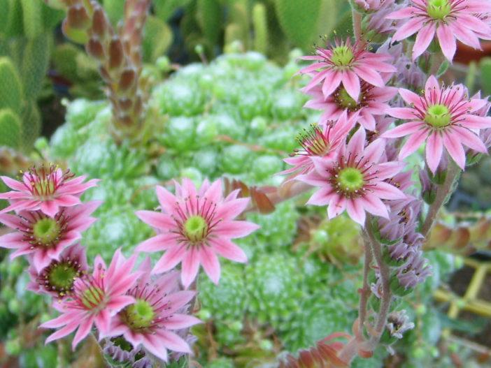 Sempervivum arachnoideum, Flowers