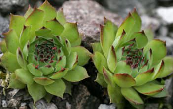 Sempervivum tectorum - Common Houseleek