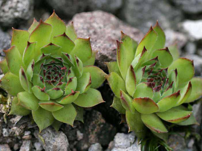 Sempervivum tectorum (Common Houseleek)