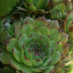 Sempervivum tectorum (Common Houseleek)