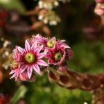 Sempervivum tectorum - Flowers