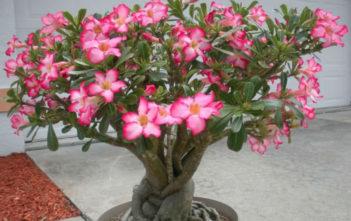 Adenium obesum - Desert Rose Impala Lily