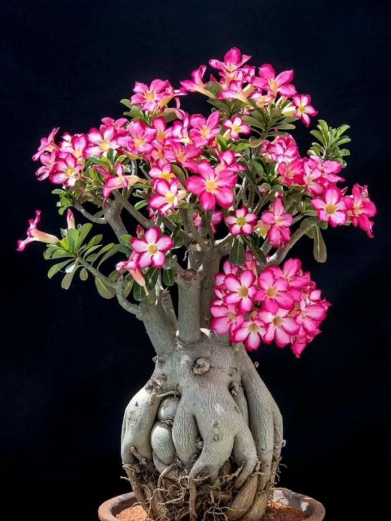 Adenium Gardenweb Garden Ftempo