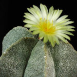Astrophytum myriostigma - Bishop's Cap, Bishop's Hat