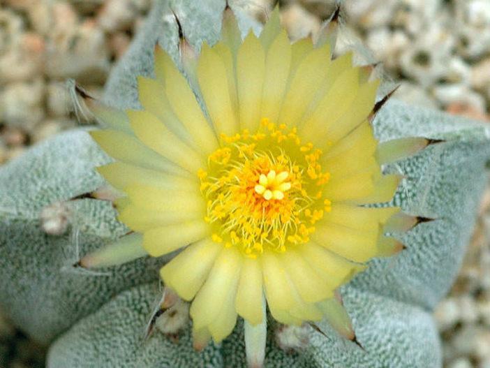 Astrophytum myriostigma (Bishop's Cap)