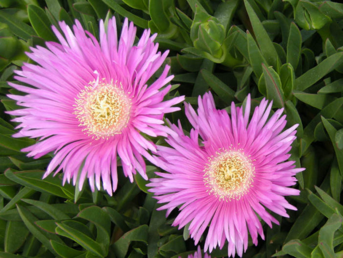 Carpobrotus acinaciformis (Sally-my-handsome)