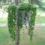 Curio rowleyanus (Senecio rowleyanus) - String of Pearls, String of Beads