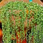 Curio rowleyanus (String of Pearls) aka Senecio rowleyanus