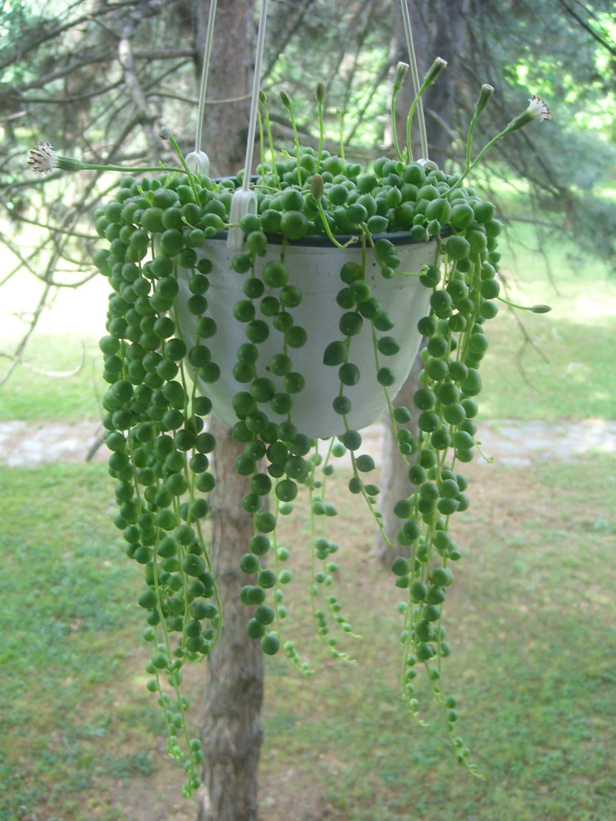 Curio Rowleyanus Senecio Rowleyanus String Of Pearls
