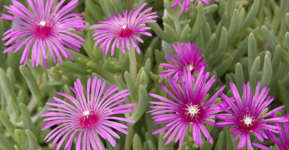 Delosperma cooperi - Purple Ice Plant | World of Succulents