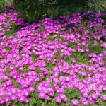 Delosperma cooperi - Trailing Ice Plant, Purple Ice Plant