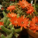 Echinopsis chamaecereus (Peanut Cactus)