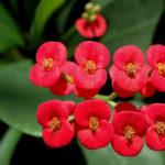 Euphorbia milii (Crown of Thorns)