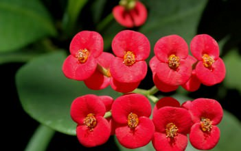 Euphorbia milii - Crown of Thorns Christ Plant