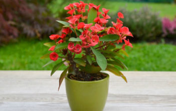 Euphorbia milii (Crown of Thorns)