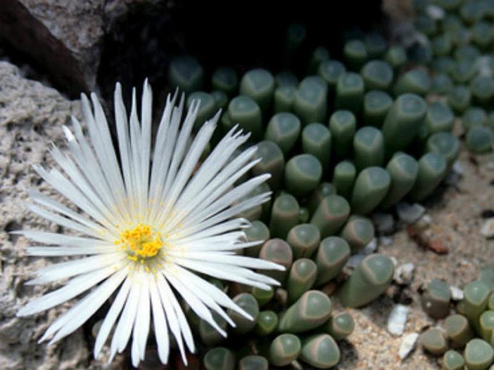 Fenestraria rhopalophylla - Baby's Toes, Window Plant