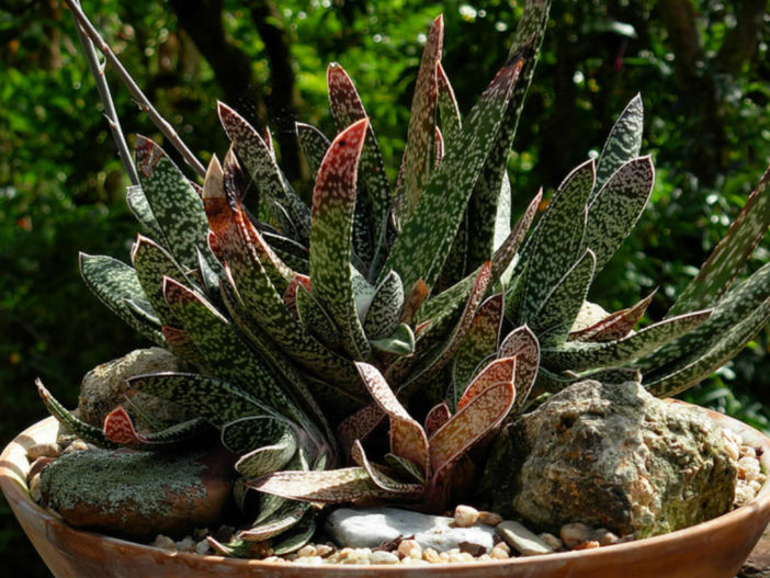 Gasteria bicolor (Lawyer's Tongue)