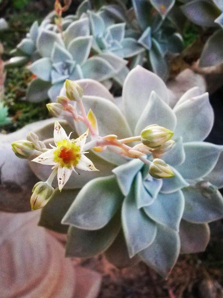Garden Bush: Graptopetalum Paraguayense (Ghost Plant)
