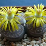 Lithops lesliei (Leslie's Living Stone)