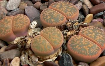 Lithops lesliei - Living Stone Pebble Plant