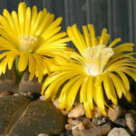 Lithops lesliei - Living Stone, Pebble Plant