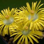 Lithops lesliei - Living Stone Pebble Plant