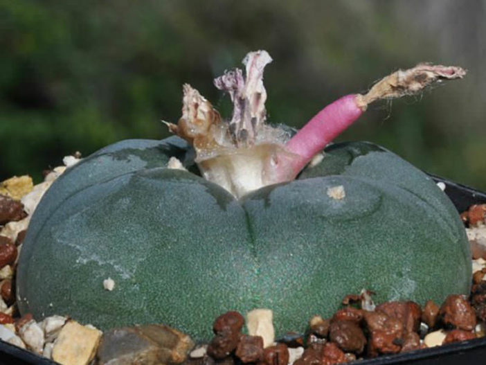 Lophophora williamsii - Fruits