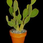 Opuntia microdasys - Bunny Ears, Polka Dot Cactus, Angel's Wings, Golden-Bristle