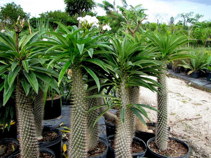 Pachypodium lamerei (Madagascar Palm)